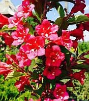 Weigela florida 'Rumba' Вейгела квітуча 'Румба',C5, фото 1