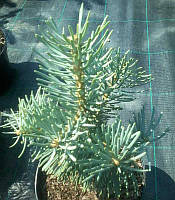 Abies concolor 'Compacta Pyramidalis' Ялиця одноколірна,C2-C3,25-30см