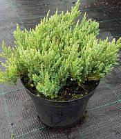 Juniperus horizontalis 'Blue Forest' Ялівець горизонтальний,C2-C3