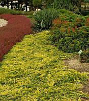 Juniperus horizontalis 'Golden Carpet' Ялівець горизонтальний 'Голден Карпет',C2-C3,20-30см