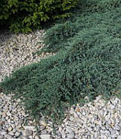 Juniperus Squamata 'Blue Carpet' Ялівець лускатий,C2-C3