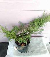 Juniperus virginiana 'Grey Owl' Ялівець віргінський,C2-C3,40-50см