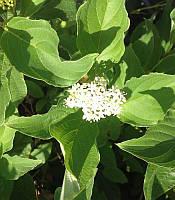 Cornus stolonifera (sericea) 'Flaviramea' Дерен шовковистий,C2-C3
