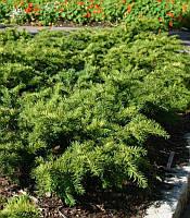 Taxus baccata 'Repandens' Тис ягідний(рос.:Taxus baccata 'Repandens' Тис ягодный),P9