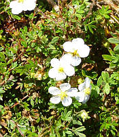 Potentilla fruticosa 'Abbotswood' Лапчатка чагарникова,P9