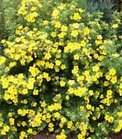 Potentilla fruticosa 'Goldfinger' Лапчатка чагарникова(рос.:Potentilla fruticosa 'Goldfinger' Лапчатка кустарниковая),C2-C3
