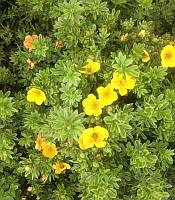 Potentilla fruticosa 'Annette' Лапчатка чагарникова(рос.:Potentilla fruticosa 'Annette' Лапчатка кустарниковая),C2-C3