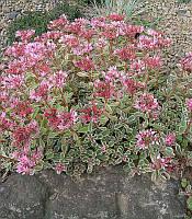 Sedum spurium 'Tricolor' Очиток хибний,P9