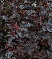 Physocarpus opulifolius 'Red Baron' Пузиреплодник калинолистий 'Ред Барон',C2-C3