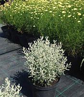 Santolina chamaecyparissus Сантоліна кипарисовидна сиза,C2-C3