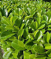 Prunus laurocerasus Лавровишня лікарська(рос.:Prunus laurocerasus Лавровишня лекарственная),P9