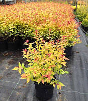 Spiraea japonica 'Goldflame' Спірея японська 'Голдфлейм',P9