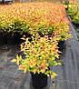 Spiraea japonica 'Goldflame' Спірея японська 'Голдфлейм',C2-C3