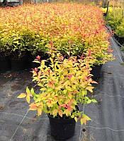 Spiraea japonica 'Goldflame' Спірея японська 'Голдфлейм',C2-C3, фото 1