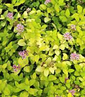 Spiraea japonica 'Golden Carpet' Спірея японська,P9