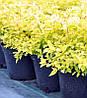 Spiraea japonica 'Goldmound' Спірея японська,C2-C3