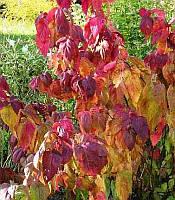 Spiraea japonica 'Macrophylla' Спірея японська,P9