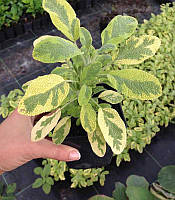Salvia officinalis 'Variegata' Шавлія лікарська,P9