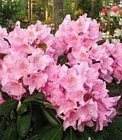 Rhododendron 'Helsinki University' Рододендрон,C5