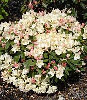 Rhododendron yakushimanum 'Golden Torch' Рододендрон якусімський,C5