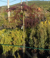 Acer palmatum dissectum 'Garnet' Клен японський,На штамбі