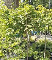 Acer platanoides 'Globosum' stam Клен гостролистий 'Глобозум' штамб,100/80