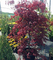 Acer rubrum Клен червоний,140-160см