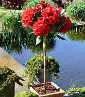 Rhododendron 'Red Jack' Рододендрон,90-120см,На штамбі
