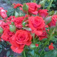 Саженцы роз Ред Микадо