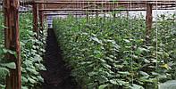 Огурец Дерья F1 10 семян, фото 1
