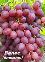 Саженцы винограда очень раннего срока созревания сорта Велес