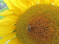 Семена подсолнечника сорт Орешек от производителя, фото 1