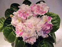 Фіалка (сенполія) РС - Ніколь, листочок