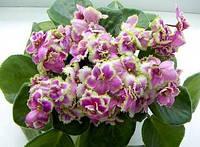 Фіалка (сенполія), ЛЕ - Колір Папороті, листочок