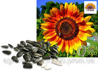 Семена подсолнечника Осман (106-108 дн., гранстар)