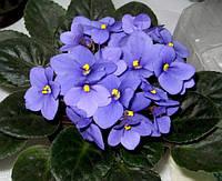 Фіалка (сенполія), OPTIMARA MANITOBA, листочок