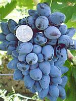 Саженцы винограда очень раннего срока созревания.