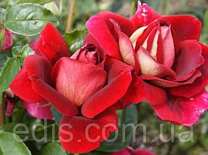 Роза штамбовая Кроненбург (Kronenbourg)