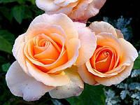 Роза штамбовая Версилия (Versilia)