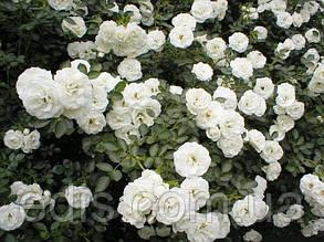 Роза штамбовая Вальс (Waltz)