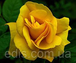 Роза штамбовая Ландора (Landora)