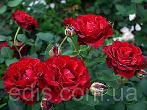 Роза штамбовая Омаж э Барбар (Hommage a Barbare)