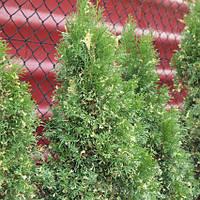 Туя западная (Thuja occidentalis)