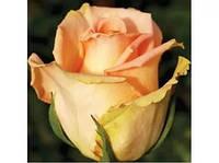 Роза Versilia (Версилия).