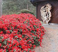 Рододендрон карликовий Baden-Baden 3 річний, Рододендрон карликовый Баден Баден, Rhododendron Baden-Baden