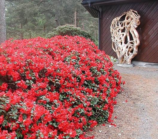 Рододендрон Baden-Baden 3 річний, Рододендрон Баден Баден, Rhododendron Baden-Baden, фото 2