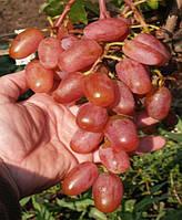 Саженцы винограда Сенсация (корнесобственные)