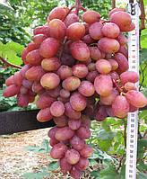 Саженцы винограда Юлиан (корнесобственные)