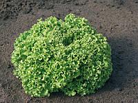 ИЛЕМА - семена салата тип Лолло-бионда, 5 000 семян, Enza Zaden