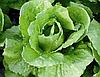 БАЦИО - насіння салату типу Романо, 5 000 насінин, Enza Zaden